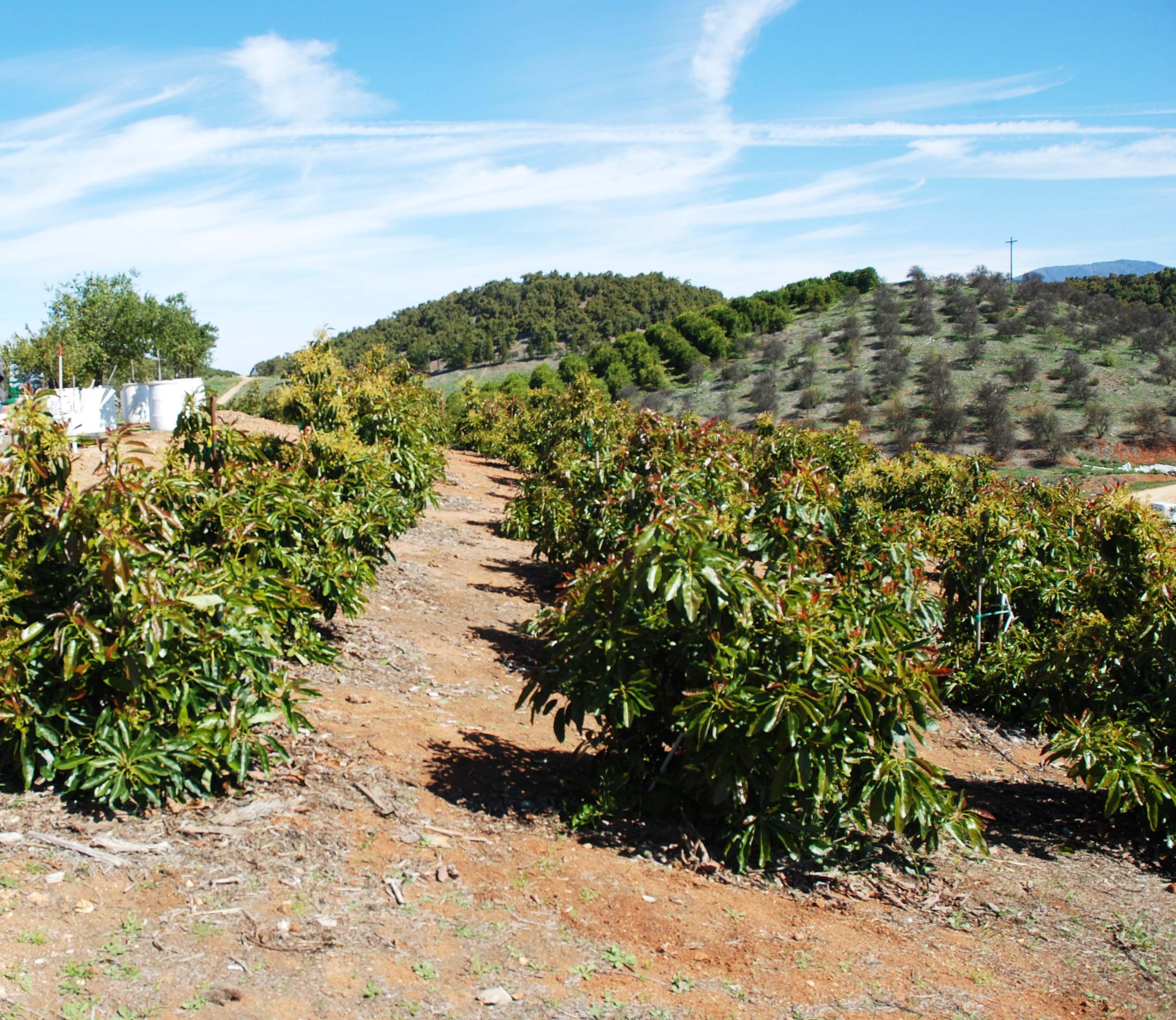 Preparing for the next growers' meeting   California Avocado